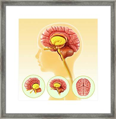 Child's Brain Anatomy Framed Print by Pixologicstudio/science Photo Library