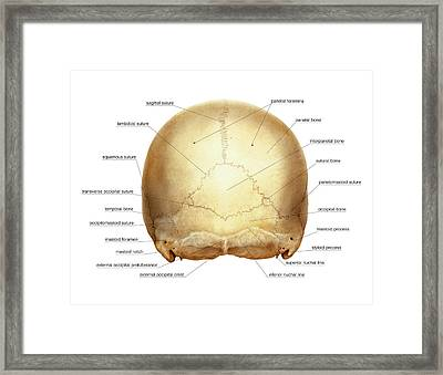 Cranium Framed Print by Asklepios Medical Atlas