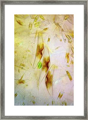 Diatoms Framed Print