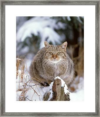 Domestic Cat Framed Print by Hans Reinhard