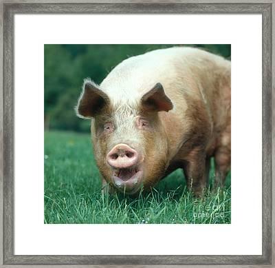 Domestic Pig Framed Print by Hans Reinhard