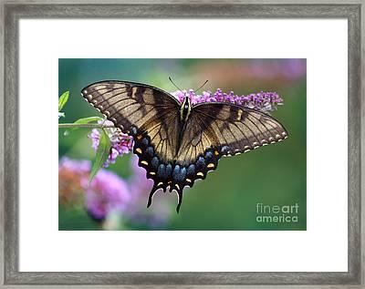 Eastern Tiger Swallowtail Butterfly On Butterfly Bush Framed Print