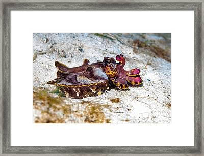 Flamboyant Cuttlefish Framed Print by Georgette Douwma