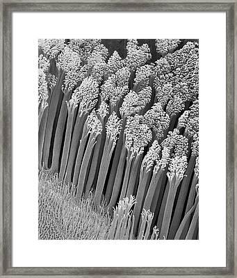 Gecko Foot Hairs (hemidactylus Frenatus) Framed Print by Dennis Kunkel Microscopy/science Photo Library