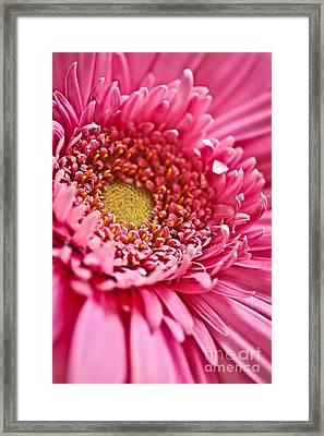 Gerbera Flower Framed Print by Elena Elisseeva