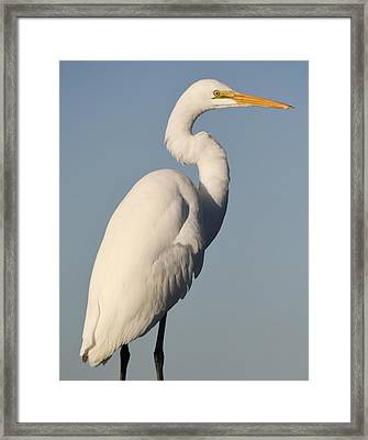 Great White Egret Framed Print by Paulette Thomas