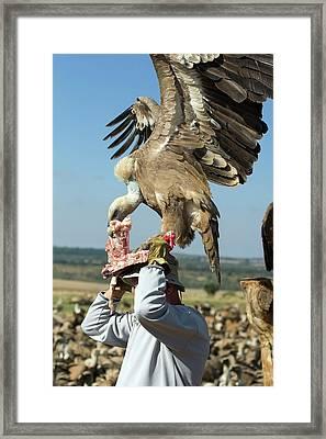 Griffon Vulture Conservation Framed Print