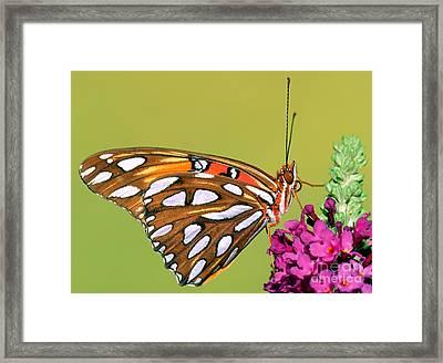 Gulf Fritillary Butterfly Framed Print