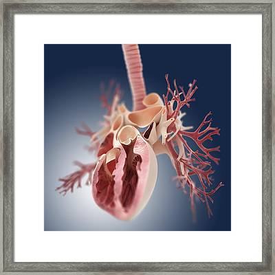 Heart And Lungs, Artwork Framed Print by Science Photo Library