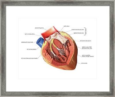 Heart Framed Print by Asklepios Medical Atlas