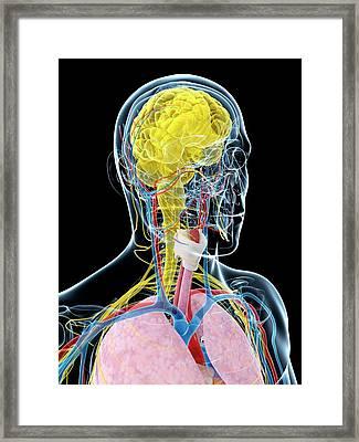 Human Brain Anatomy Framed Print by Sebastian Kaulitzki