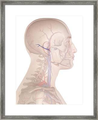 Human Vein Framed Print by Sciepro