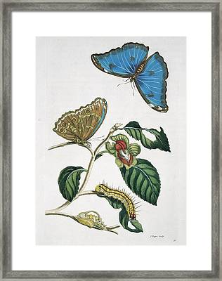 Insects Of Surinam, 18th Century Framed Print by Science Photo Library