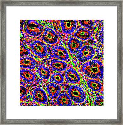 Intestinal Villi Framed Print by R. Bick, B. Poindexter, Ut Medical School
