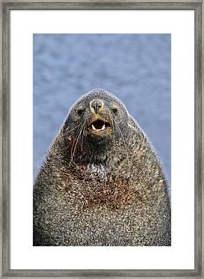 Kerguelen Fur Seal, Antarctic Fur Seal Framed Print by Martin Zwick