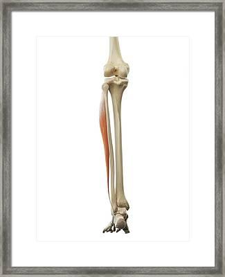 Leg Muscle Framed Print