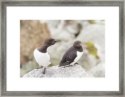 Little Auks Or Dovekie (alle Alle) Framed Print