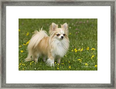 Long-haired Chihuahua Framed Print by Jean-Michel Labat