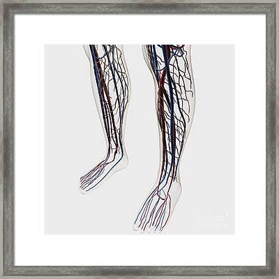 Medical Illustration Of Arteries, Veins Framed Print by Stocktrek Images