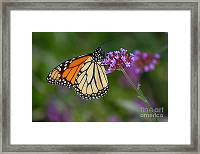 Monarch Butterfly In Garden Framed Print