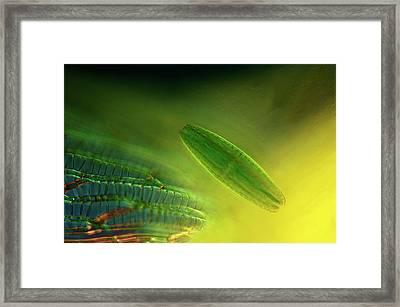 Netrium Desmid Framed Print