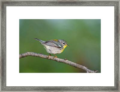 Northern Parula (parula Americana Framed Print by Larry Ditto
