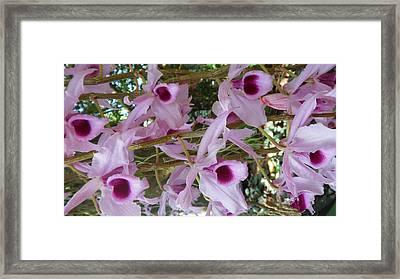 Orchids--dendrobium Framed Print