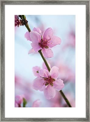 Peach (prunus Persica) Framed Print