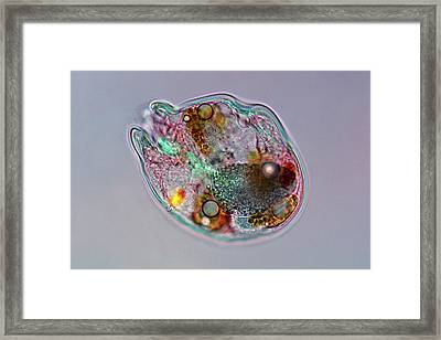 Rotifer Framed Print by Marek Mis