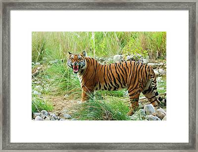 Royal Bengal Tiger (male Framed Print