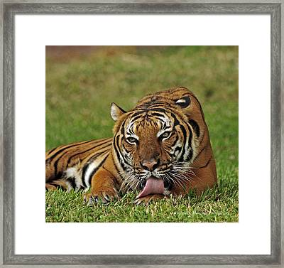 Royal Bengal Tiger Framed Print