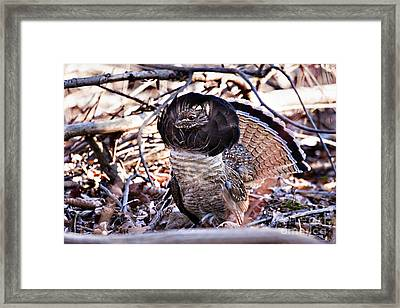 Ruffed Grouse Framed Print