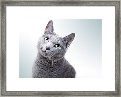 Russian Blue Cat Framed Print by Nailia Schwarz