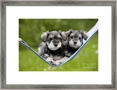 Schnauzer Puppy Dogs Framed Print by John Daniels