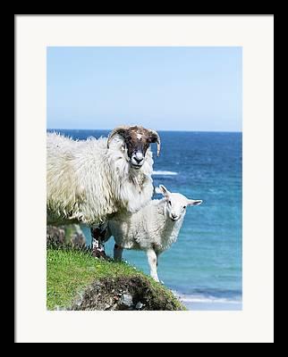 Scottish Blackface Framed Prints