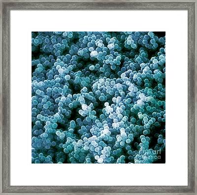 Sem Of Staphylococcus Aureus Framed Print