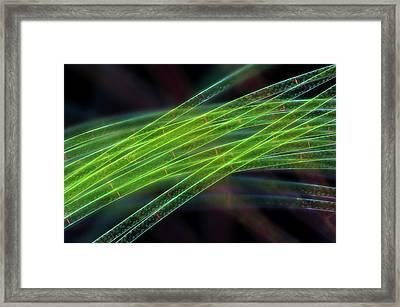 Spirogyra Algae Framed Print