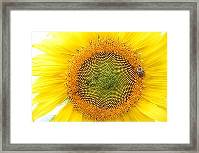 Sunflower Framed Print by Dacia Doroff