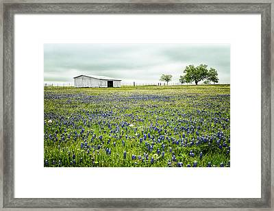 Texas Bluebonnets 6 Framed Print