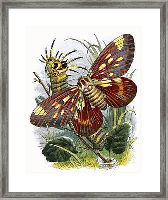 The Butterfly Vivarium Framed Print by English School