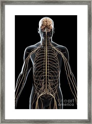 The Nerves Of The Upper Body Framed Print