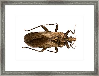 Triatomine Bug Framed Print by Science Photo Library
