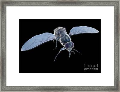 Tsetse Fly Framed Print by Science Picture Co
