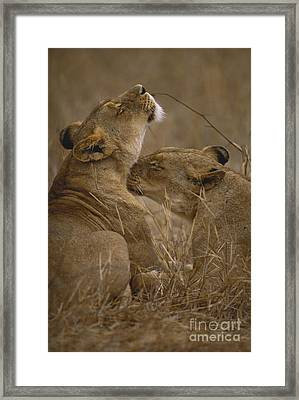 Two Lions Framed Print