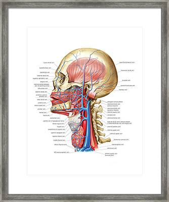 Venous System Of The Head And Neck Framed Print