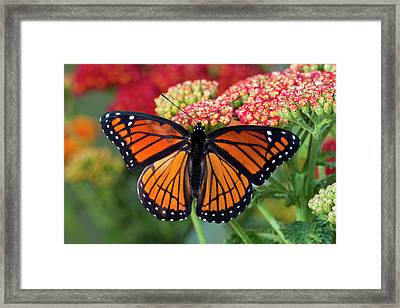 Viceroy Butterfly A Mimic Framed Print by Darrell Gulin