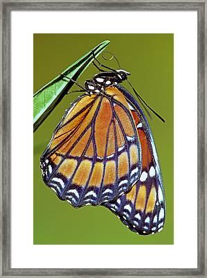 Viceroy Butterfly Framed Print