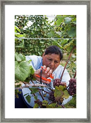 Wine Grape Harvest Framed Print by Jim West