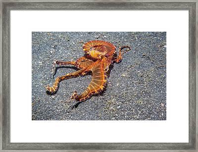 Wonderpus Octopus Framed Print