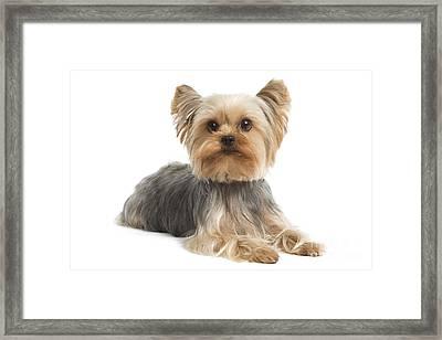 Yorkshire Terrier Dog Framed Print